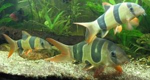 3 Clown Loaches